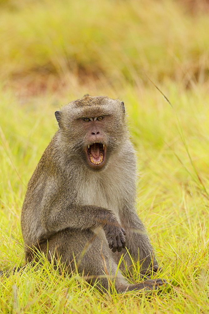 Male Long-tailed Macaque sitting on grass, Rinca Indonesia