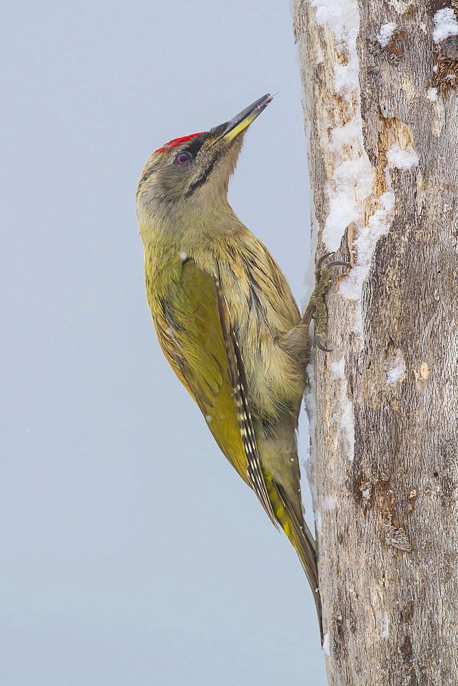 Grey-headed woodpecker male on a trunk, Central Bulgaria