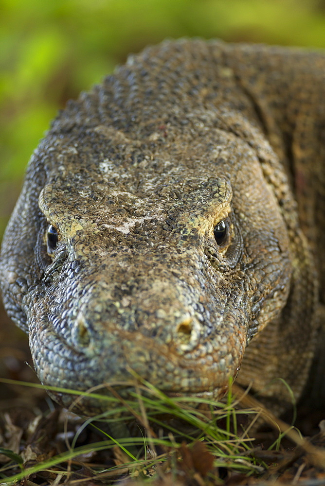 Portrait of Komodo dragon, Komodo Indonesia