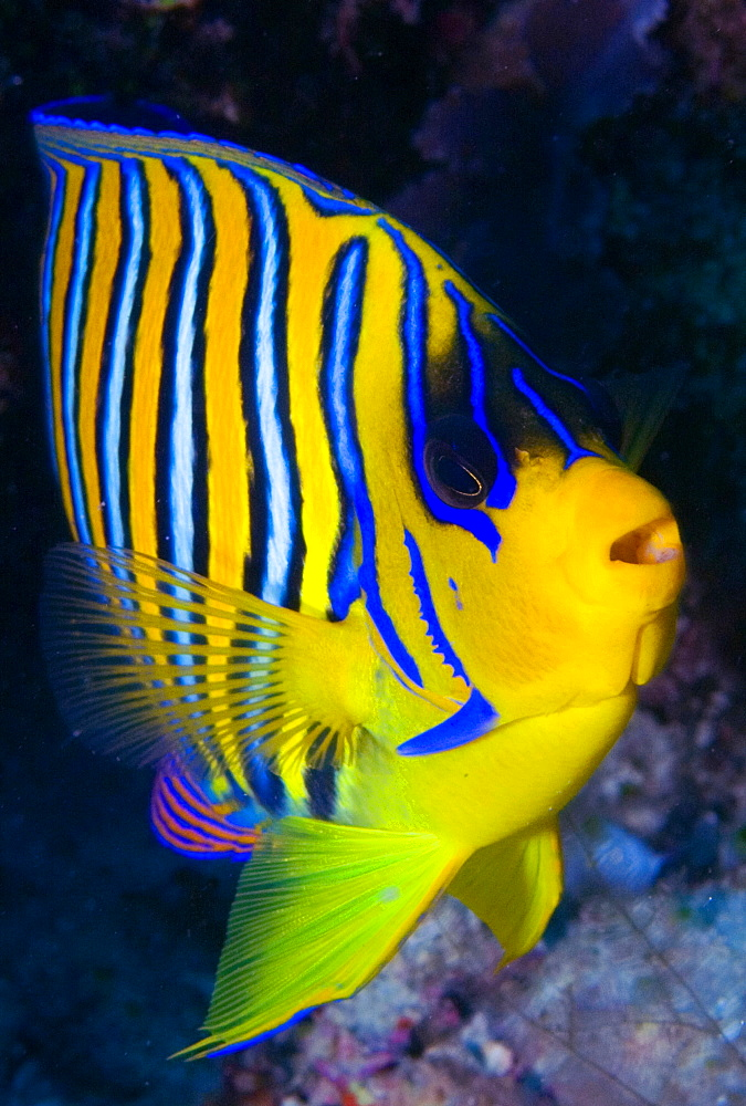 Regal angelfish on reef, Ari Atoll Maldives