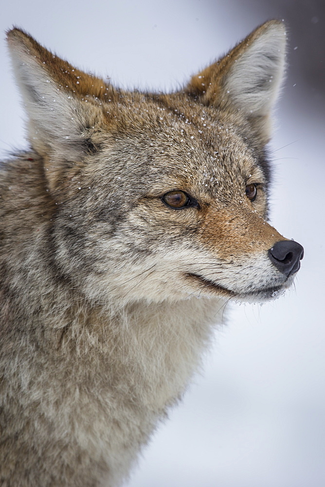 Portrait of Coyote in winter, Yellowstone USA