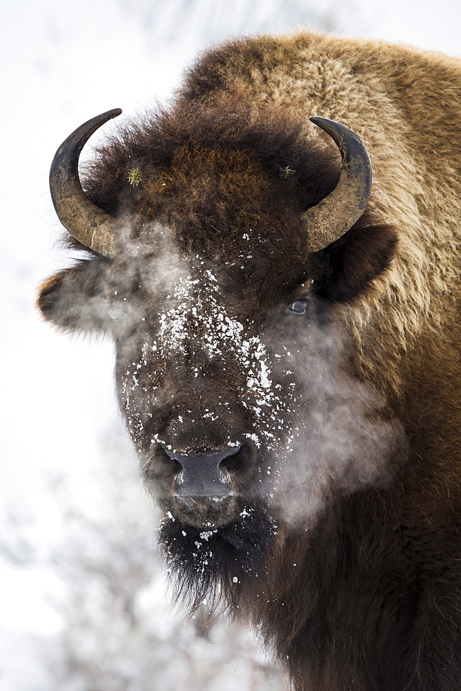 Portrait of American Bison in the snow, Yellowstone USA