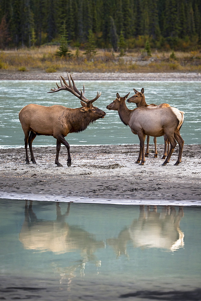 Male Wapiti and hinds on the bank, Jasper Canada