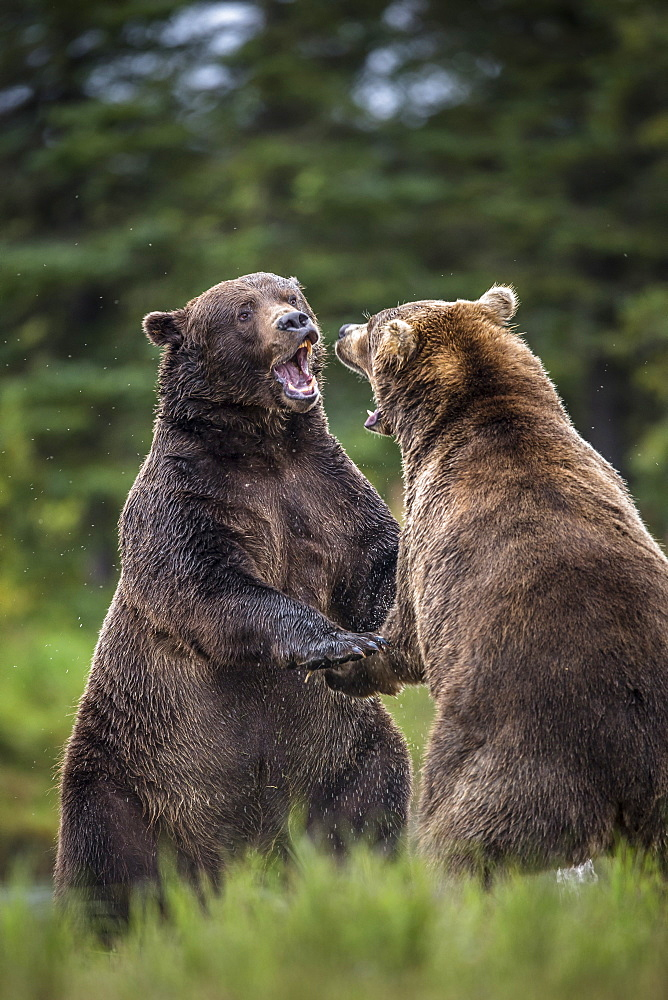 Grizzlys fighting on bank, Katmai Alaska USA