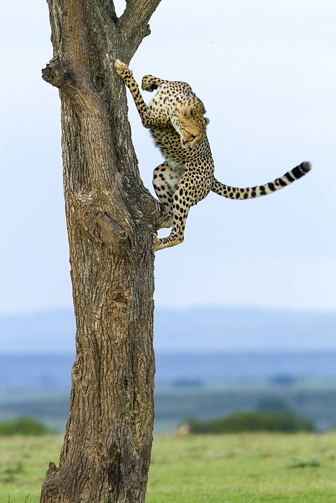 Kenya, Masai-Mara Game Reserve, Cheetah (Acinonyx jubatus), male