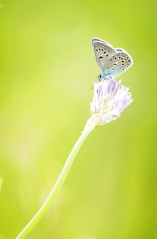 Blue (Plebejus sp) on flower, Province of Arkhangai - Mongolia