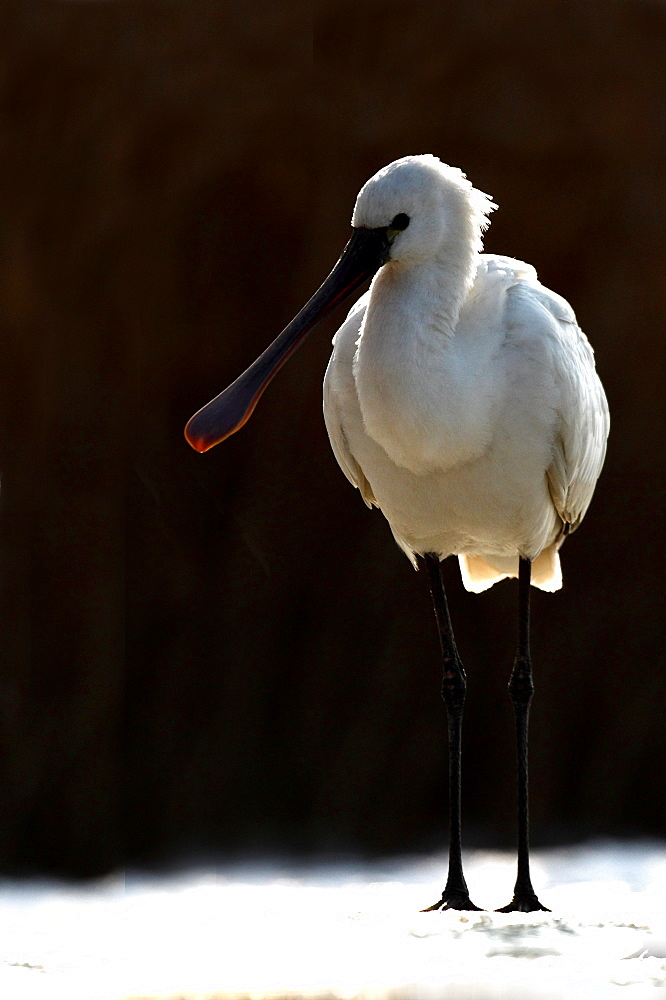Eurasian Spoonbill ( Platalea leucorodia ) on snow in winter , Hungary - 860-286746