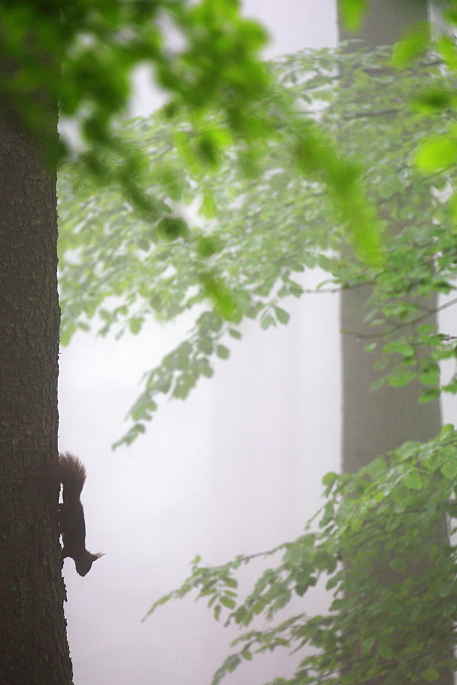 Red squirrel (Sciurus europaeus) down along a trunk in a beech forest in the fog in the spring, Belgium