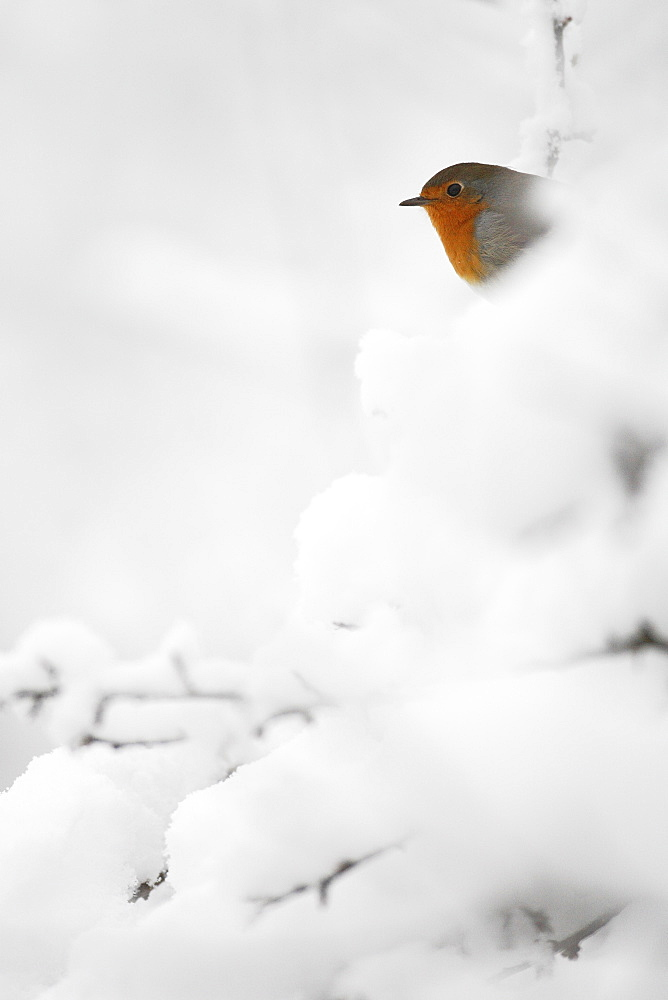 European Robin (Erithacus rubecula) in a snowy hedge, Belgium