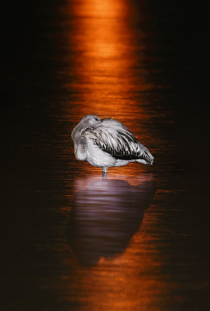 Greater Flamingo (Phoenicopterus ruber roseus) at rest in the water and reflection, Spain - 860-286810
