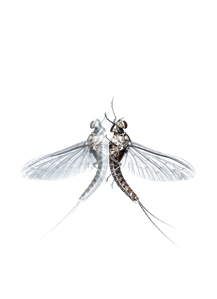 Mayfly (Ephemera glaucops) and its double on white background