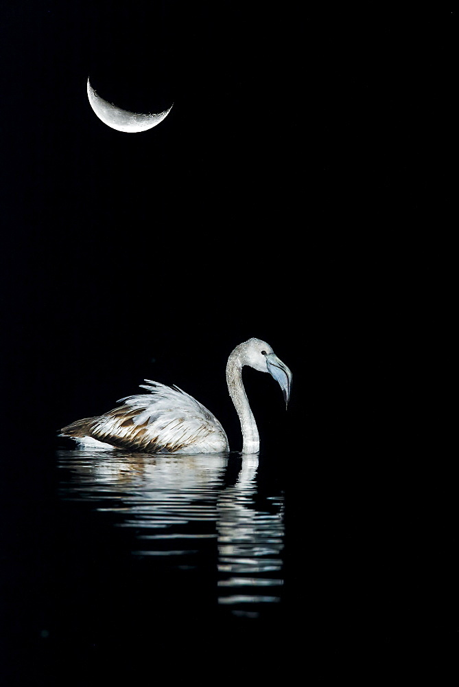 Greater Flamingo (Phoenicopterus ruber roseus) in the water under the moon, Spain