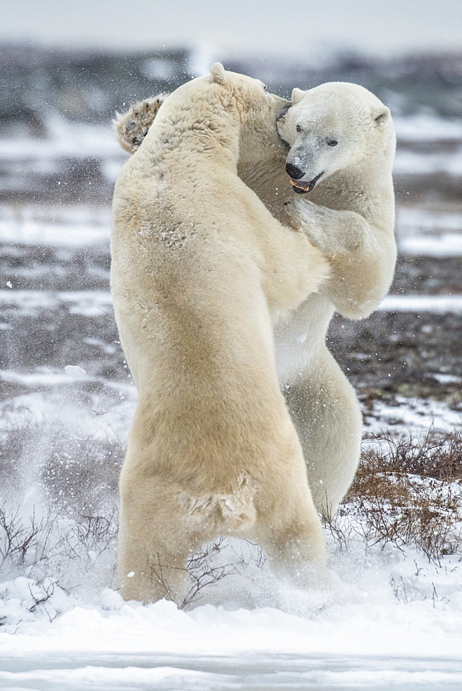 Take this bite - two polar beaers fighting