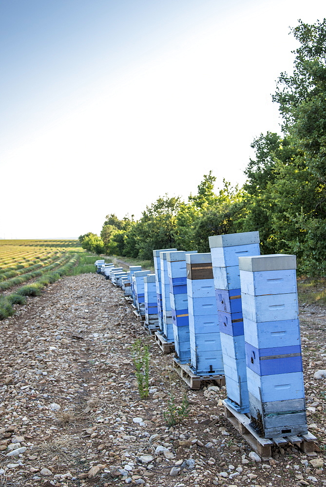 Beehives in front of a lavender field in Moustiers-Sainte-Marie, Provence, France - 860-286984