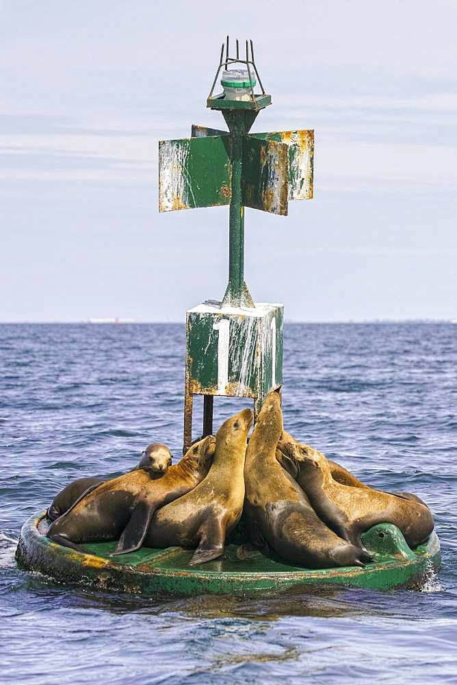 California sea lion ( Zalophus californianus), rests on buoy, Ojo de Liebre Lagoon (formerly known as Scammon's Lagoon), Guerrero Negro, Baja California Sur, Mexico