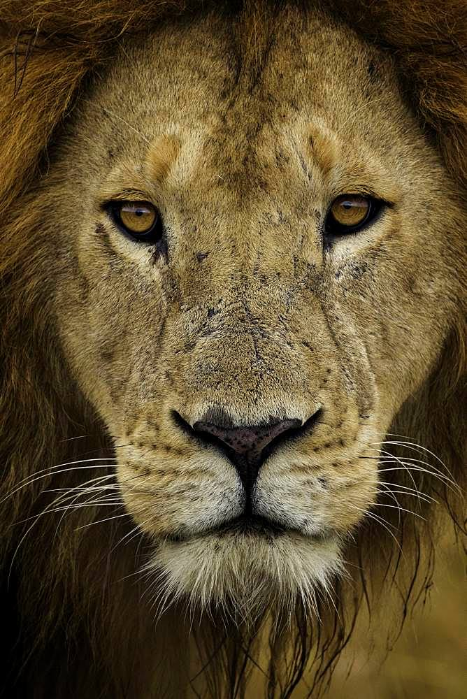 A portrait of a young male Lion (Panthera leo) in Kenya.