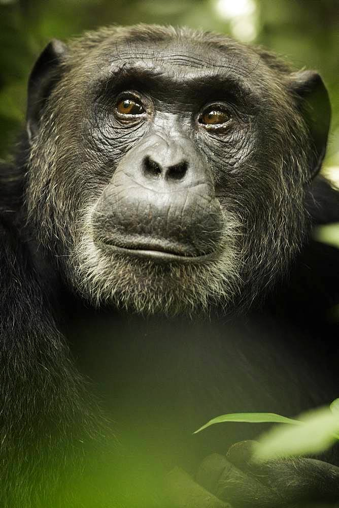 A stunning Chimpanzee (Pan troglodytes) rests in the rainforests of Africa.