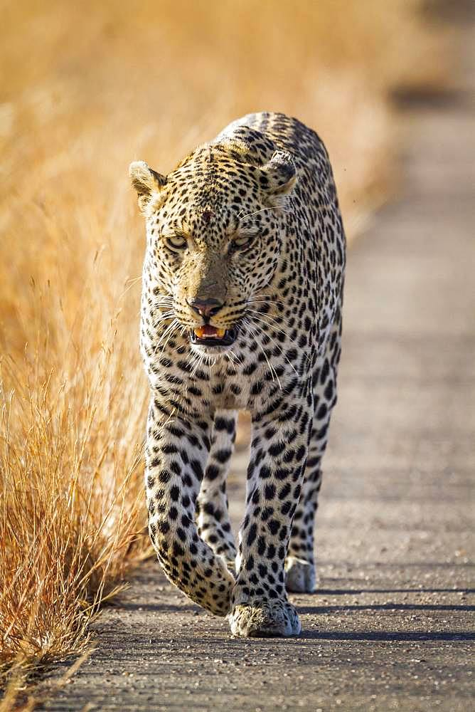 Leopard (Panthera pardus) in Kruger National park, South Africa