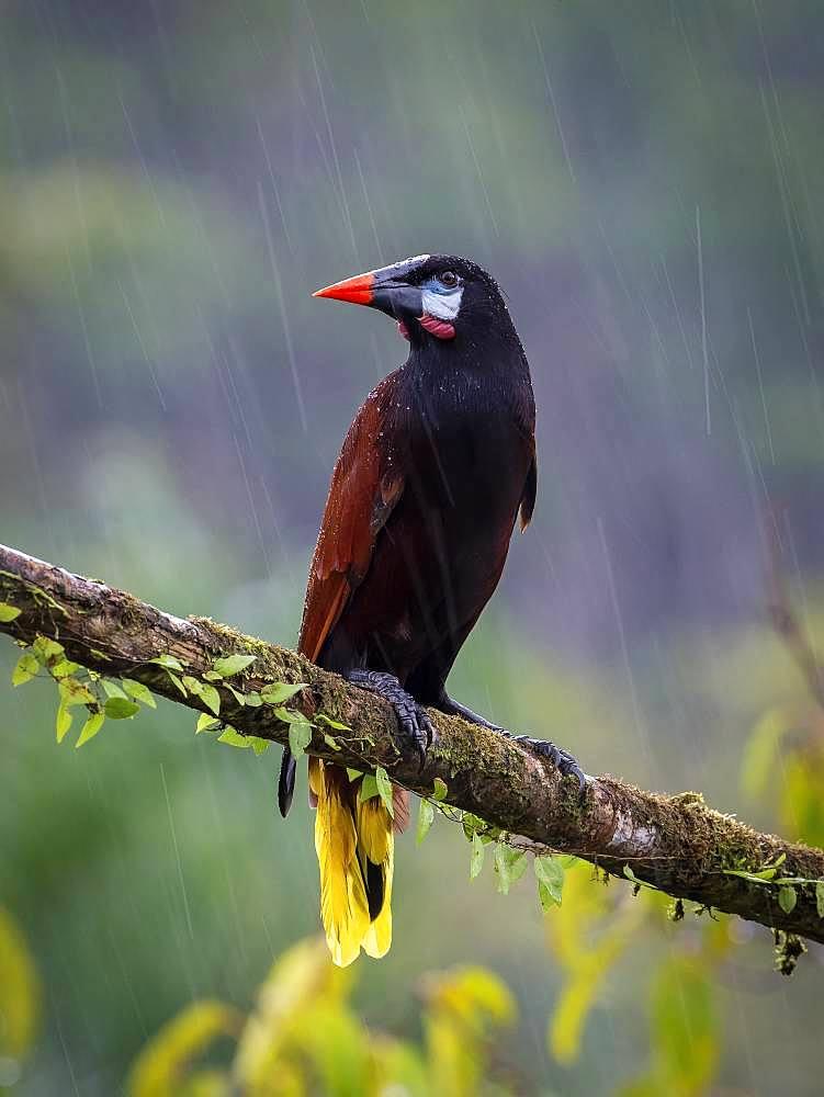 Montezuma Oropendola (Psarocolius montezuma), under heavy rain, Costa Rica, October