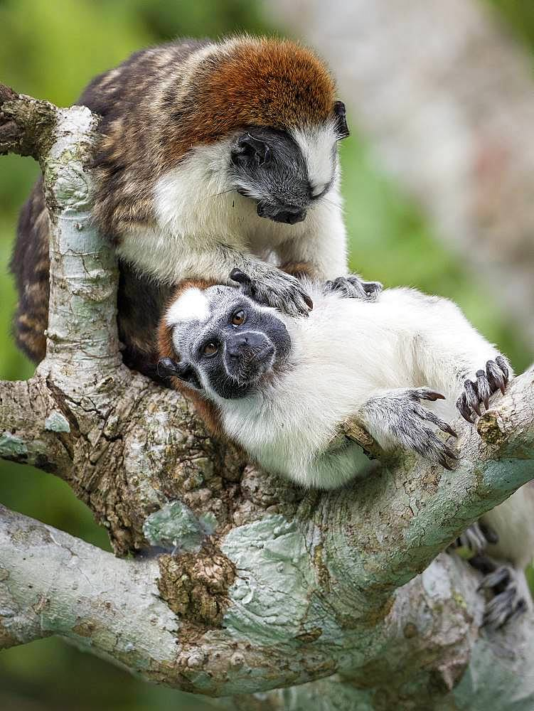 Geoffroy's Tamarin (Saguinus geoffroyi), two adults in mutual grooming, Gamboa, Panama, November