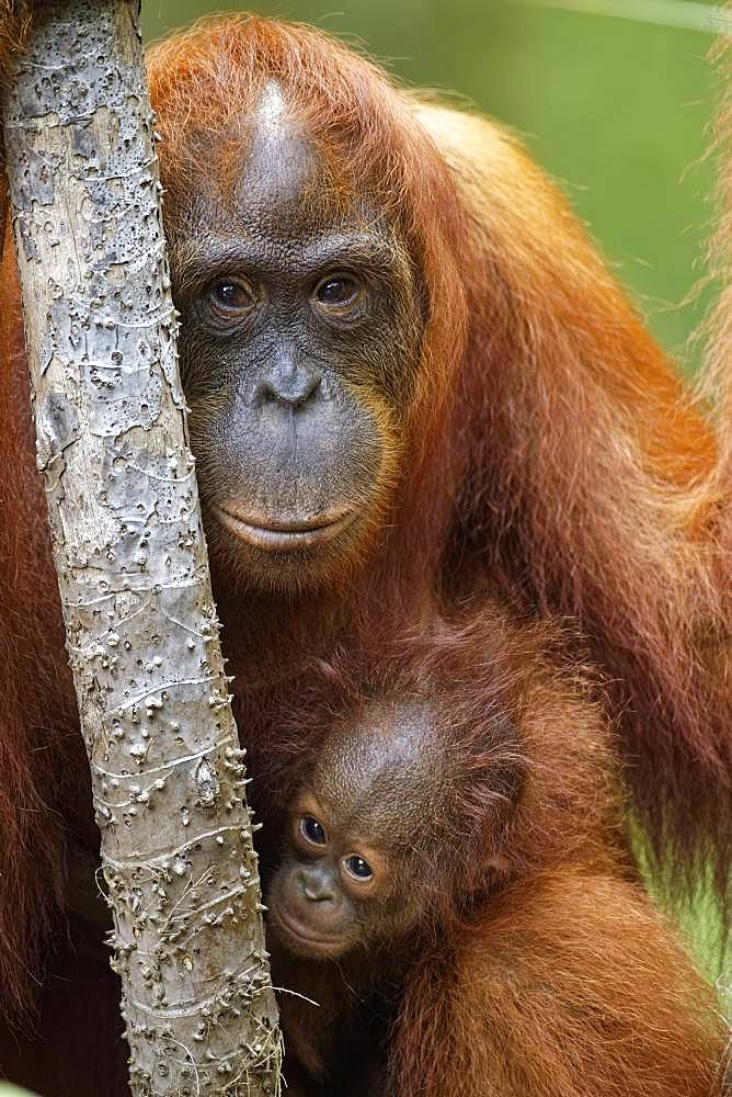 Portrait of Orang utan (Pongo pygmaeus) with young, Tanjung Puting, Kalimantan, Indonesia