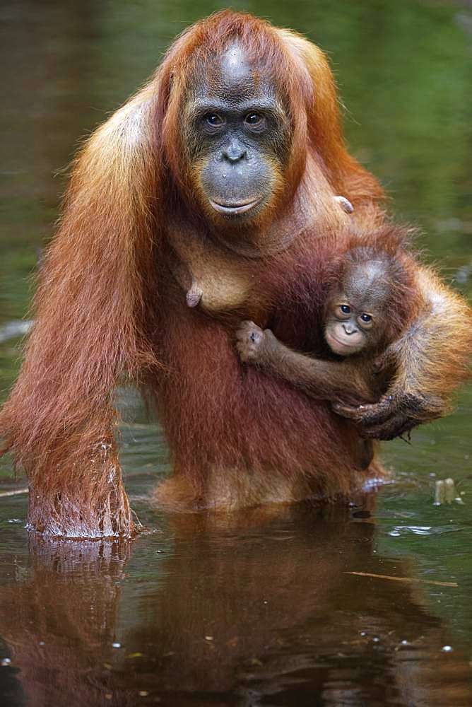 Orang utan (Pongo pygmaeus) with young crossing a river, Tanjung Puting, Kalimantan, Indonesia