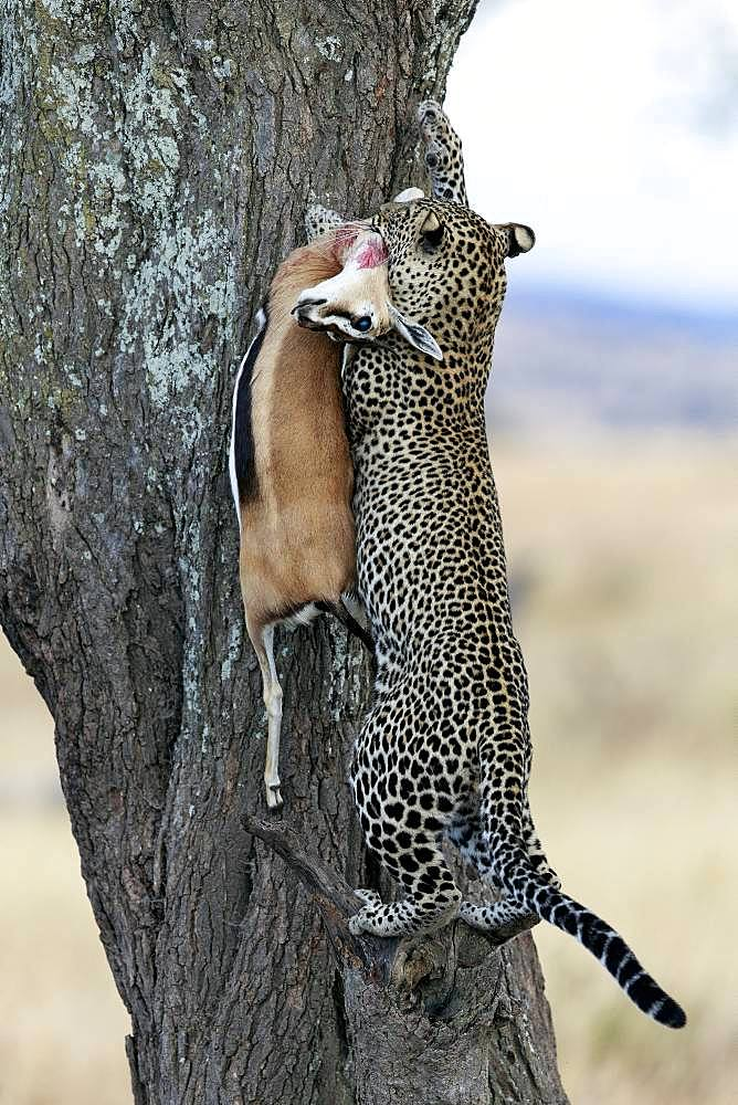 Leopard (Panthera pardus) in a tree with Thomson's gazelle (Eudorcas thomsonii), Serengeti, Tanzania