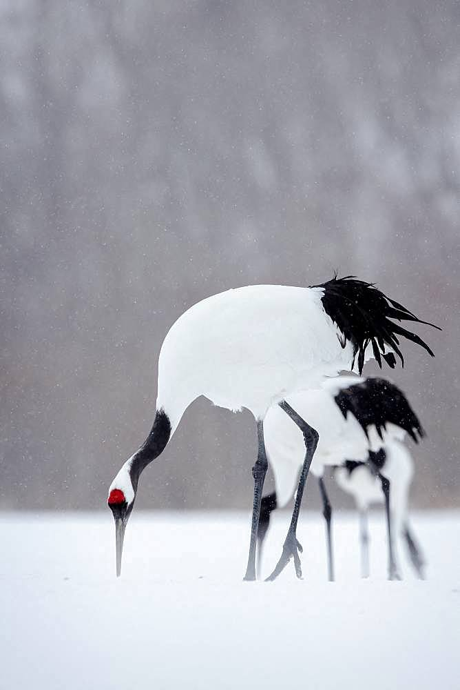 Japanese crane (Grus japonensis) in the snow, Hokkaido, Japan.