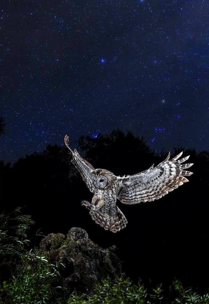 Tawny Owl (Strix aluco) hunting in flight under the stars at night, Salamanca, Castilla y León, Spain