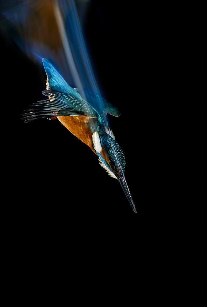 Common Kingfisher (Alcedo atthis) diving, Salamanca, Castilla y León, Spain