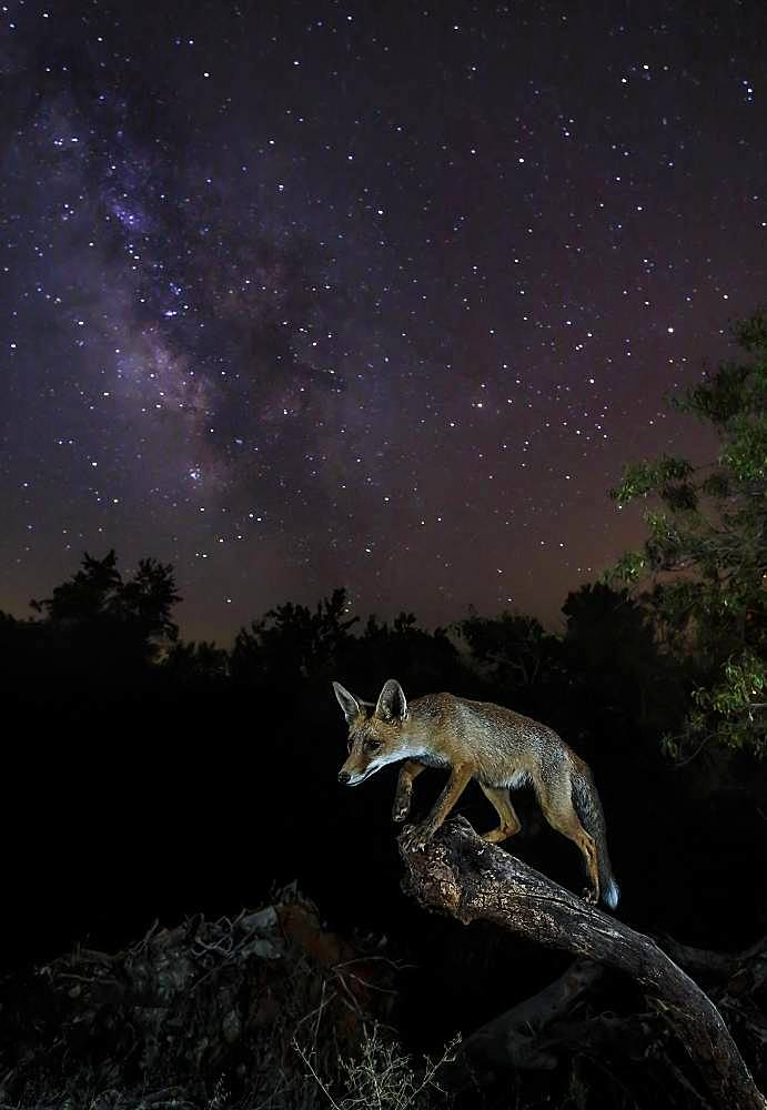 Red fox (Vulpes vulpes) under the milky way, Spain