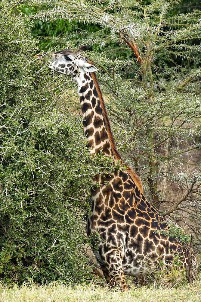 Masai Giraffe (Giraffa tippelskirchi), eating, Masai-Mara National Reserve, Kenya