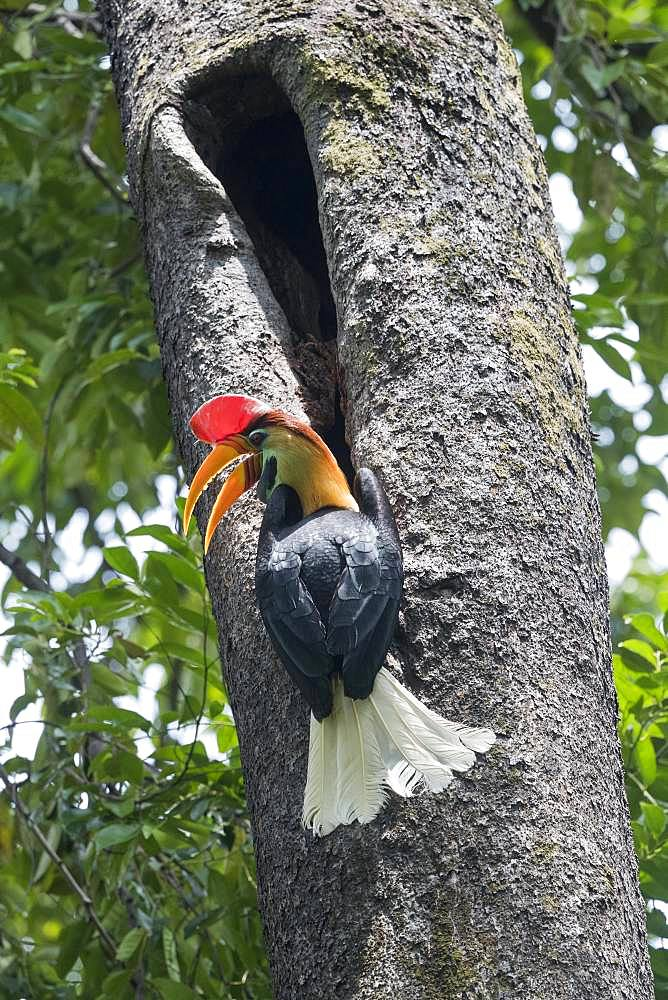 Red Knobbed hornbill (Rhyticeros cassidix), near the nest, Tangkoko National Park, Sulawesi, Celebes, Indonesia