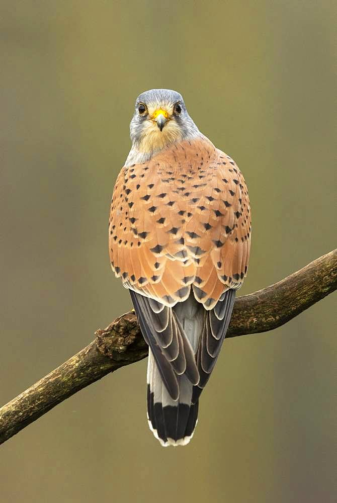 Kestrel (Falco tinnunculus) perched on a branch, England