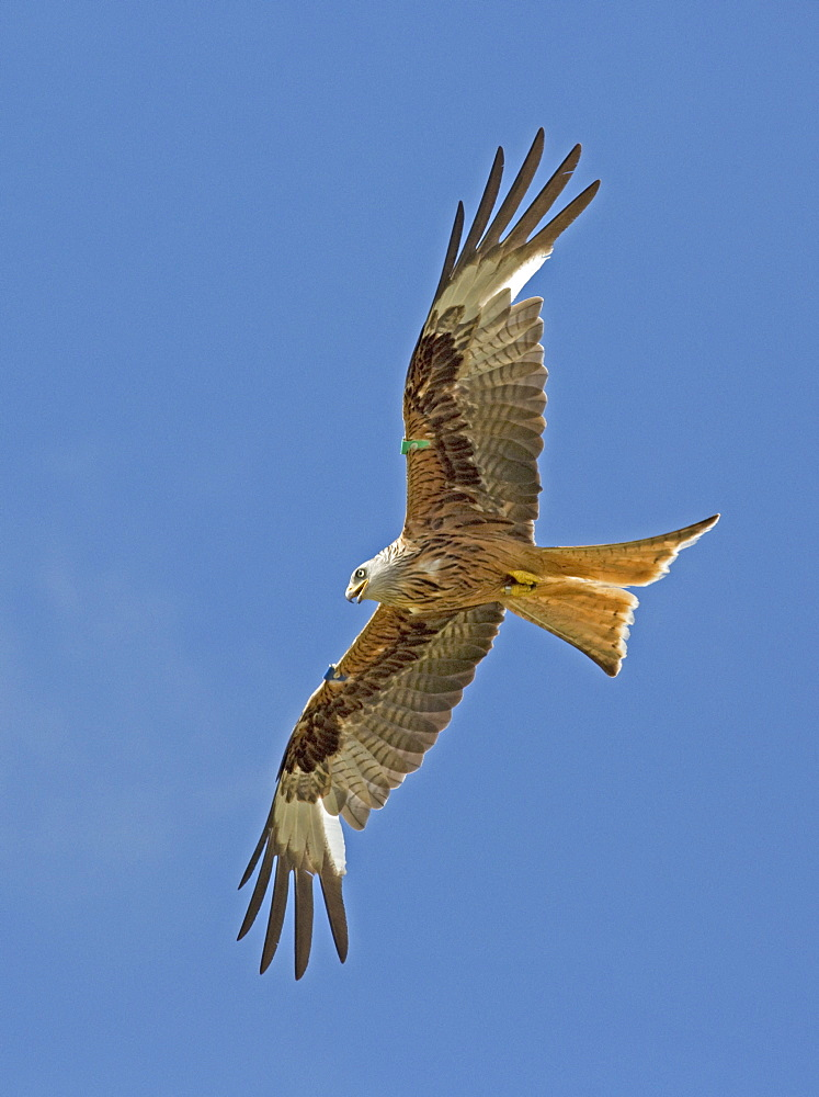 Red kite (Milvus milvus) in flight, Bellymack Kite Feeding Centre Dumfries Scotland