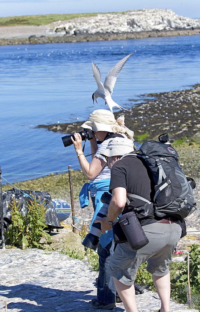 Arctic tern (Sterna paradisaea) attacking attacks photographer defending chicks, blue sky, Inner Farne, Farne Islands, Northumberland, UK