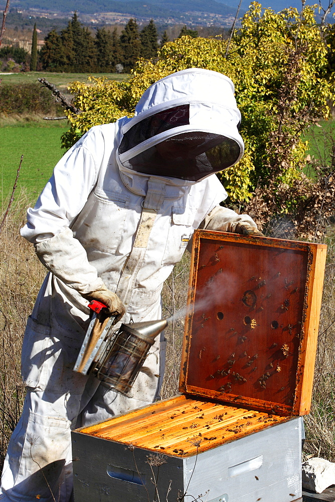 Beekeeper inspecting hives during honey production