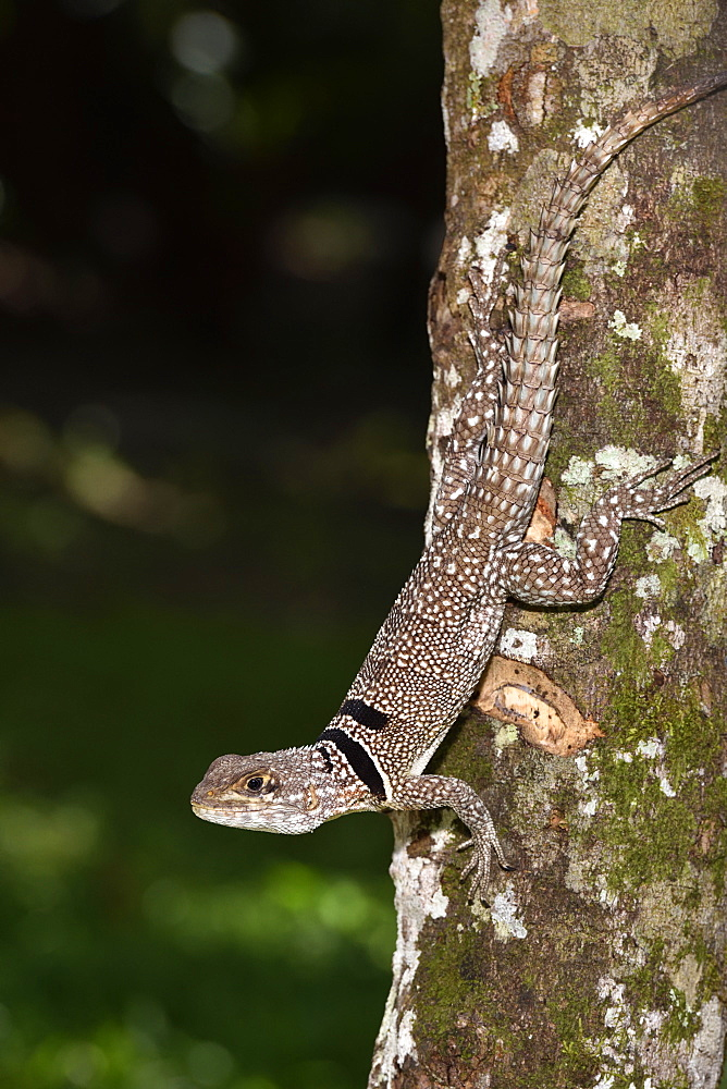 Cuvier's Madagascar Swift (Oplurus cuvieri) in Tropical Rainforest, Pangalanes Canal, Ampitabe Lake, Atsinanana Region, Madagascar