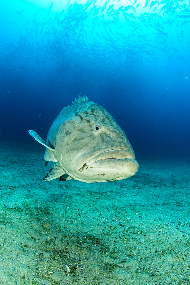 Big Gulf grouper (Mycteroperca jordani), Cabo Pulmo Marine National Park, Baja California Sur, Mexico