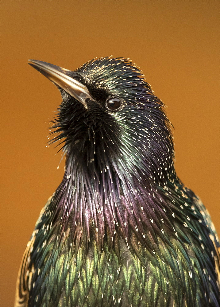 Starling (Sturnus vulagaris) displaying, England