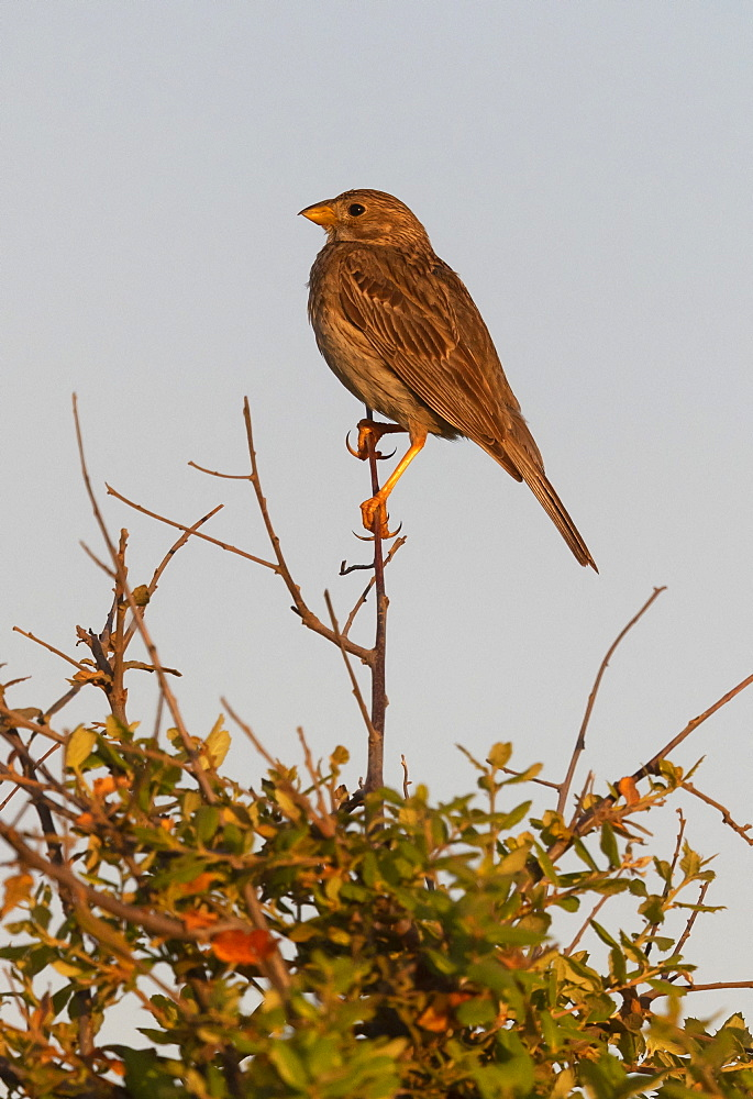 corn Bunting (Emberiza calandra) perched on top of a tree, Spain
