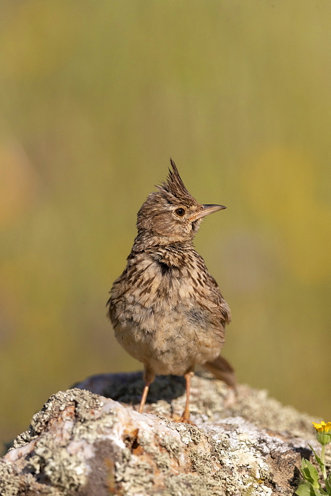 Crested lark (Galerida cristata) reflection in wateron stone, Spain