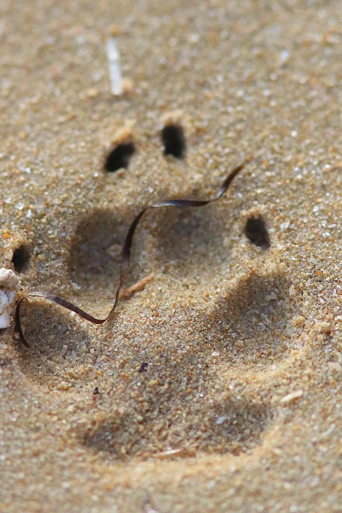 Golden jackal (Canis aureus) footprint in sand, Mauritania