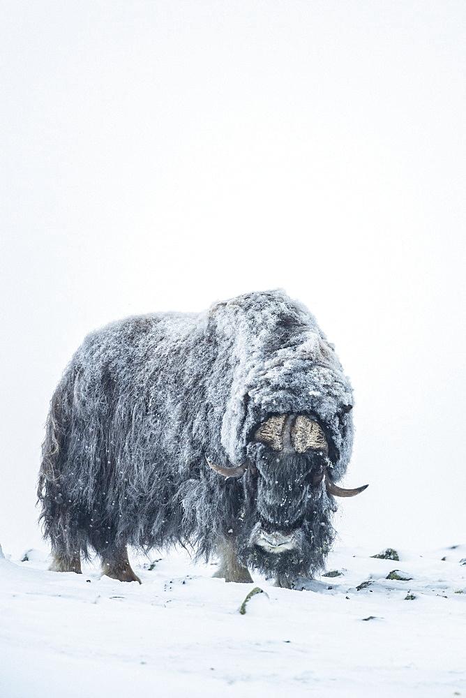 Musk Ox (Ovibos moschatus), bull in winter, Dovrefjell-Sunndalsfjella-Nationalpark, Norway