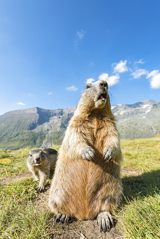 Alpine marmot ( Marmota marmota), standing, Wideangle, National Park Hohe Tauern, Austria
