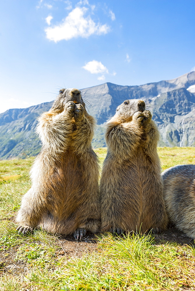 Alpine marmot ( Marmota marmota), standing in front of mountains, Wideangle, National Park Hohe Tauern, Austria