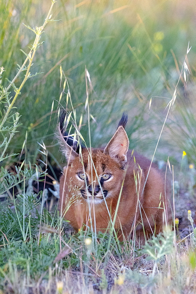 Caracal (Caracal caracal) , Occurs in Africa and Asia, Young animal 9 weeks old, lying in the grass, Captive.