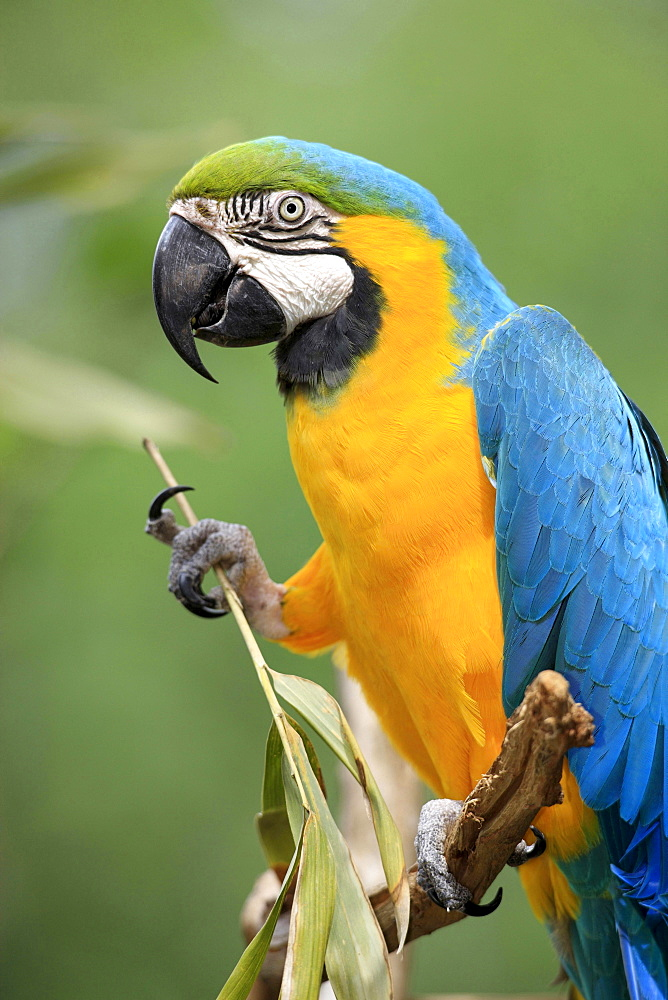 blue-and-yellow macaw feeding South America