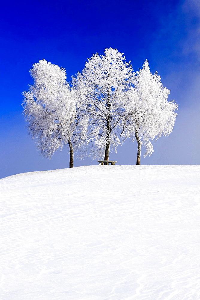 birch birch trees snow covered in winter landscape sun mood Switzerland