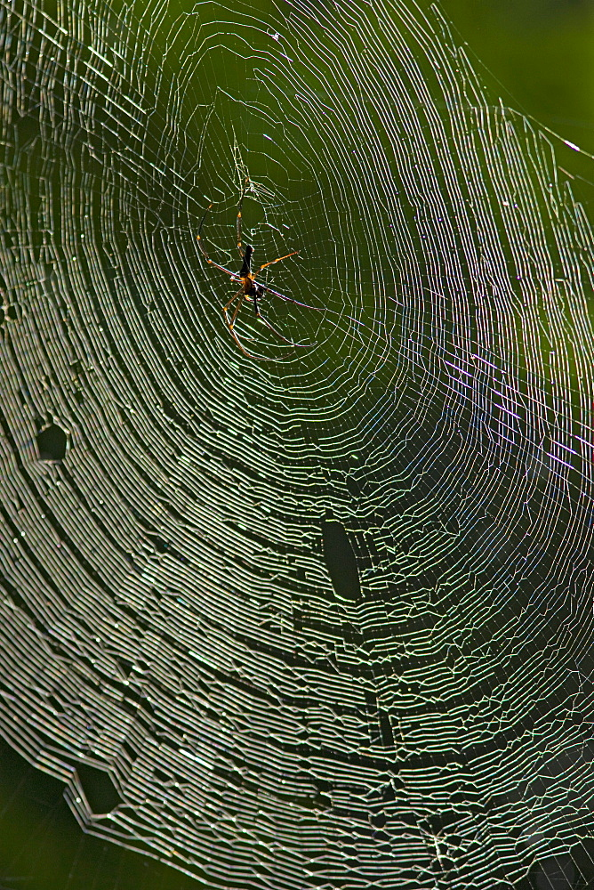 weaver spider female spider in web Christmas Island Indian Ocean Australian Territory